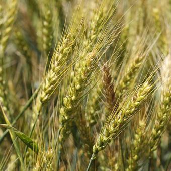 -人と人をつなぐ食パン-グリホサート不使用小麦「ゆめきらり」