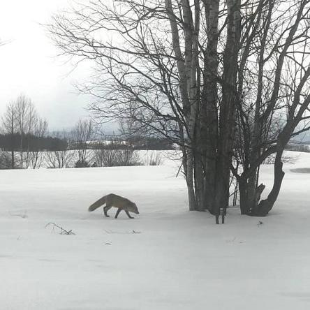 キタキツネのお散歩